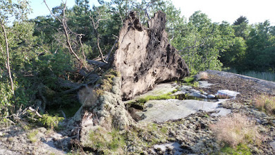 Photo: It's amazing that the tree managed to survive on so little soil