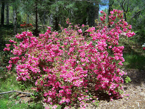 Photo: Beautiful Azaleas At The Entrance
