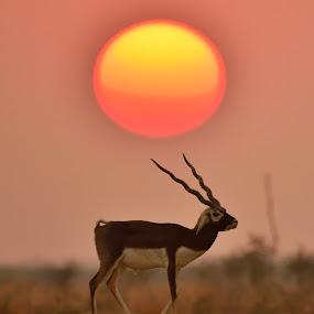 Blackbuck sunset 2016 by Vijay Singh Chandel - Animals Other ( picoftheday, bestoftheday, sunset, wildlife, nikon )