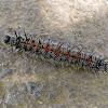 Mourning Cloak Butterfly caterpillar