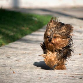 Windy by Sergio Yorick - Animals - Dogs Running ( windy, motion, dog, running, animal,  )