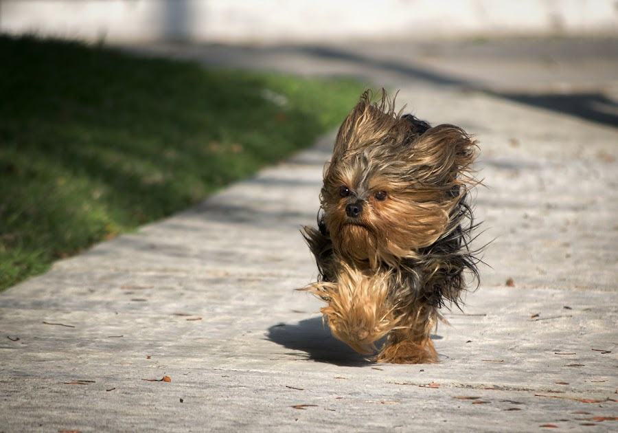 Windy by Sergio Yorick - Animals - Dogs Running ( windy, motion, dog, running, animal,  )