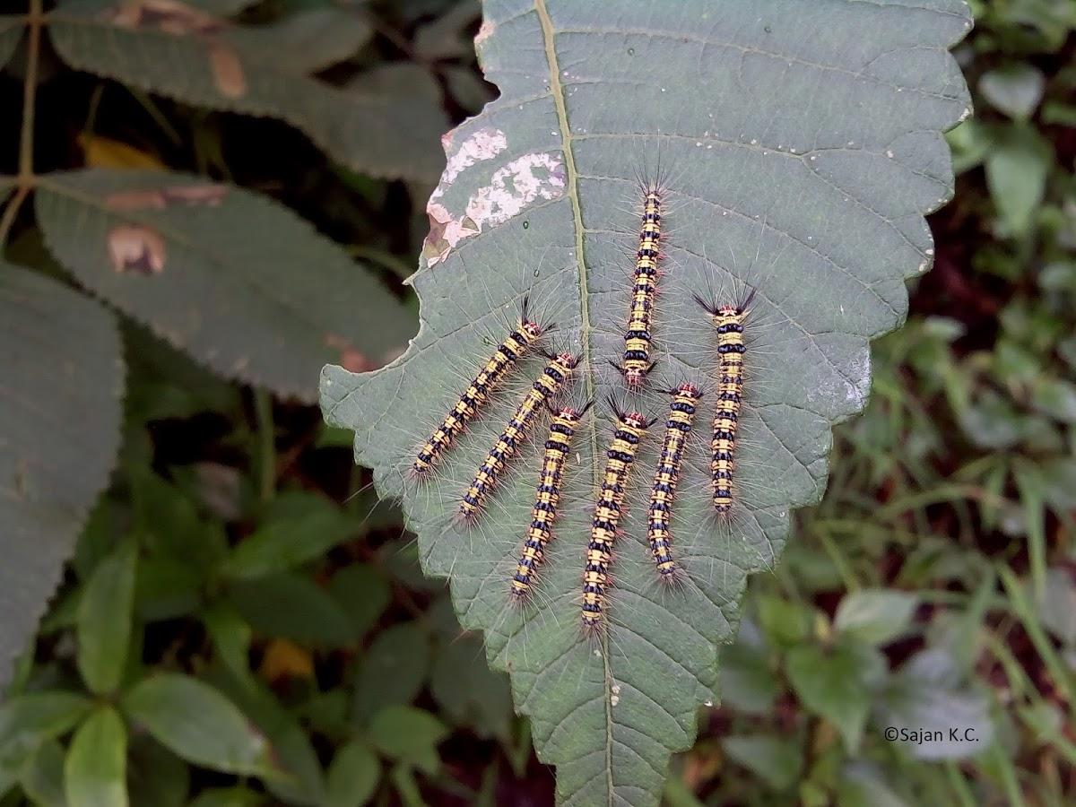 Lappet Moth Caterpillars