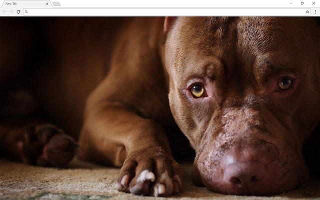pitbull dogs wallpapers new tab magazinul web chrome
