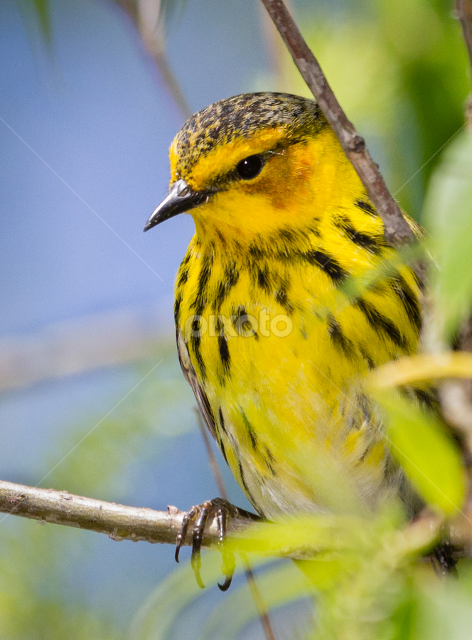 Female Cape May Warbler by Mike Trahan - Animals Birds ( cape may warbler, nature, ohio, magee marsh )