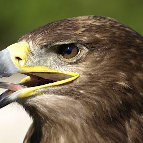 brown eagle portrait by Steen Hovmand Lassen - Animals Birds ( eagle, beak, brown, tonque, eyes,  )