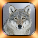 Wolf Photos and Videos Download on Windows