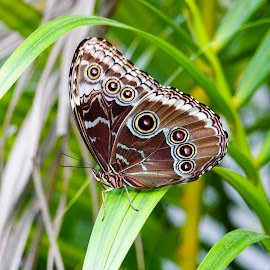 Blue Morpho Underside by Sandy Friedkin - Animals Insects & Spiders ( butterfly, underside, blue morpho,  )