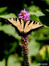 Photo: Eastern Tiger Swallowtail on Prairie Blazing Star