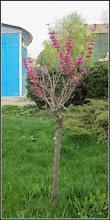 Photo: Arborele de Iudeea  (Cercis canadensis) - de pe Str. Andrei Muresanu, spatiu verde - 2018.04.15