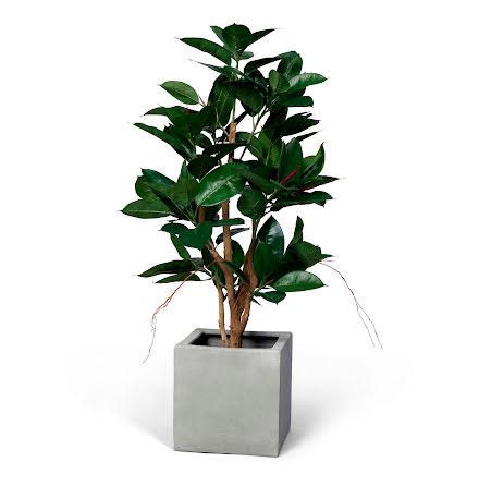 Konstväxt ficus robusta 120cm