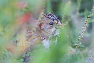 Photo: Harris's Sparrow