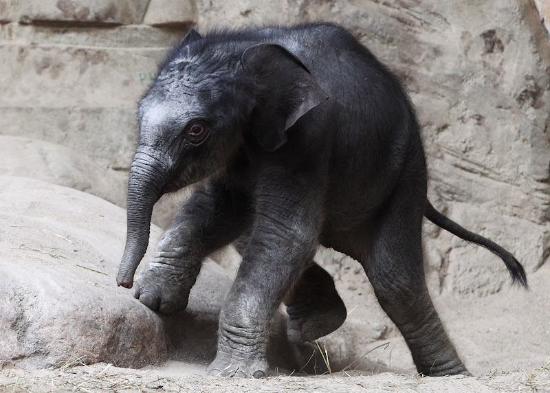 Photo: HAMBURG, GERMANY - APRIL 18:  An unnamed baby elephant calf explores the elephant barn at the Hagenbeck Zoo on April 18, 2012 in Hamburg, Germany. The female calf was born on April 13 with a weight of 100 kilos as the third calf of Mother elefant Lai Sinh.  (Photo by Joern Pollex/Getty Images)