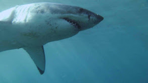 Great White Sharks thumbnail