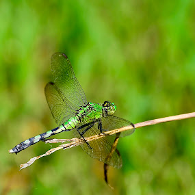 Pondhawk by Jeff Sluder - Animals Insects & Spiders ( muscatatuck, eastern pondhawk,  )
