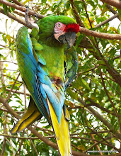 Photo: Divisadero's resident Military Macaw