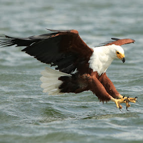 In for the Kill! by Dave Roberts - Animals Birds ( sea eagles, africa, eagles,  )