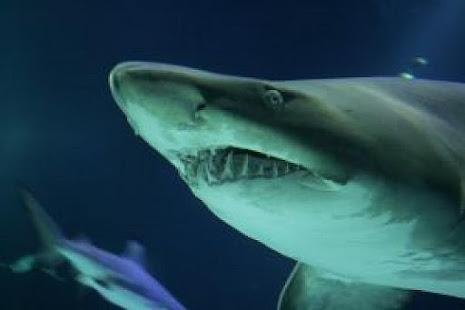 Blue Shark Attack Live Wallpaper Applications Sur Google Play