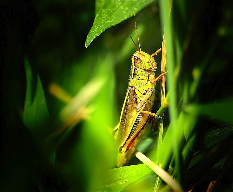 Gemini by Arnaud Charil - Animals Insects & Spiders ( gemini, grass, green, cricket, insect )