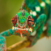 Chameleon Jigsaw Puzzles
