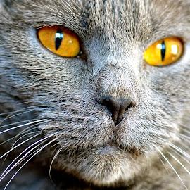 Cheyenne de l'Onde Bleue* by Serge Ostrogradsky - Animals - Cats Portraits ( chartreux )
