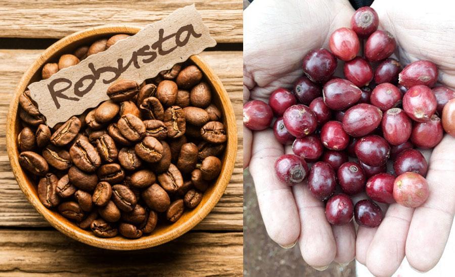 Quy trình cà phê robusta chế biến ướt