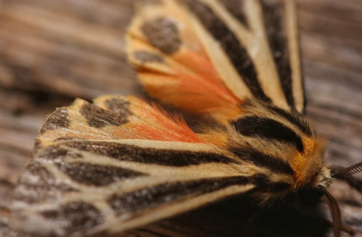 Harnessed Moth - 8169