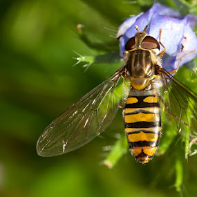 Hoverfly by Mark Denham - Animals Insects & Spiders ( hoverfly, macro, nature, green, insect )