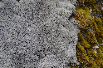 Photo: Pertusaria corallina