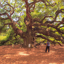 Angel Oak by Brendon Hallman - Nature Up Close Trees & Bushes ( outdoor, nature, tree, oak tree,  )