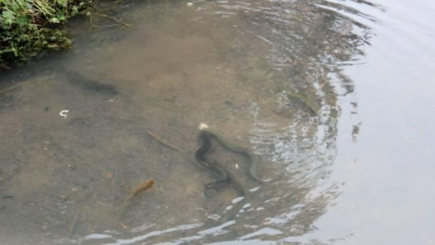 Freshwater eels enjoy Auckland man George Gardner's feedings of the fat off chicken necks daily.