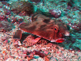 Photo: #042-Le Poisson chauve-souris ou le Red Lipped Batfish de Cocos (Ogcocephalus porrectus) se déplace en marchant sur le sol (2010)