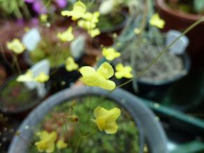 Photo: Utricularia subulata