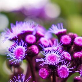 Purple Flowers by Ravi Patel - Nature Up Close Flowers - 2011-2013 ( purple, flower )