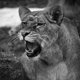 lion by Patrick Robert - Black & White Animals ( lion )