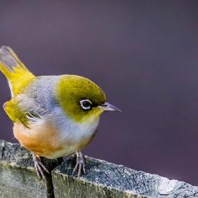 Im Waiting by Ken Nicol - Animals Birds (  )