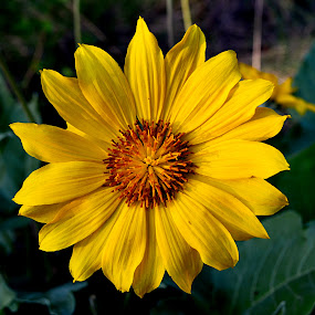 Sun Flower by Jennifer Parmelee - Flowers Flowers in the Wild ( wild, park, beautiful, yellow, flowers,  )