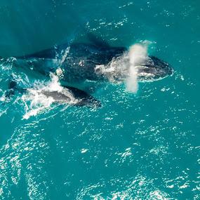 Whales by Mark Luyt - Animals Sea Creatures ( whale, ocean, mammal, calf, aerial,  )