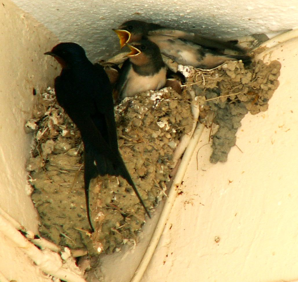 European Barn swallow