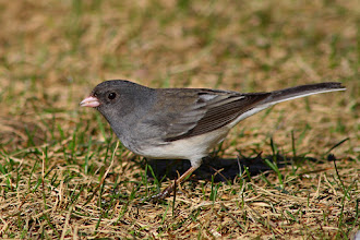 Photo: #BirdPoker Portraits curated by +Phil Armishaw  OK, a Dark-eyed Junco to mix things up a bit at the sparrow table, +Scott Simmons, +Pescalune P, and +Dusty Gedge.