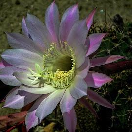 cvijet kaktusa by Dunja Kolar - Flowers Single Flower ( croatia, kaktus, zagreb, botanical gardens, cvijet )