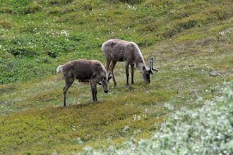 Photo: Caribou grazing