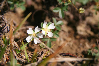 Photo: Potentille des montagnes, (Potentilla montana)