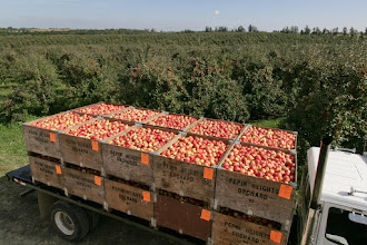 """Photo: Harvest and packing of 'Honeycrisp' apple at Pepin Heights Orchards, Lake City, MN. Truck will haul crates to packing house.    'Honeycrisp'  apple was bred and patented (expired, 2011) by researchers at the the University of Minnesota, Agricultural Experiment Station.  Project #21-016, """"Breeding and Genetics of Fruit Crops for Cold Climates."""" Principal investigator: James J. Luby; scientist, David Bedford. 'Honeycrisp' was released in 1991.  Excellent fresh eating, explosively crisp and juicy, unusually long storage life.  Ripens the last week of September in Minnesota."""