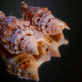 Sea Skells by Dave Walters - Artistic Objects Still Life ( sea life, sea shells, mystical, still life, colors, artistic, lumix fz2500,  )