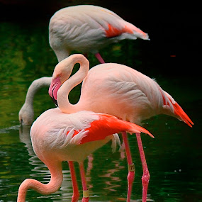 Three feathered friends by Francois Wolfaardt - Uncategorized All Uncategorized ( water, nature, three, flamingoes, pink, birds )