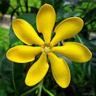 Golden Gardenia