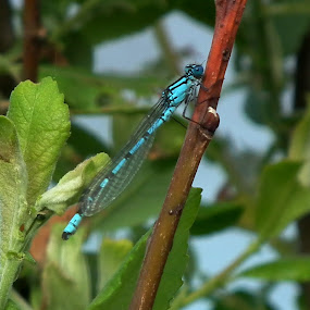Classic Damselfly pose  by Paul Rayney - Animals Insects & Spiders ( waterside, blue, fly, damsel, twig )