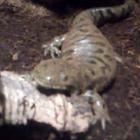 Banded Tiger Salamander