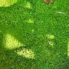 Spotless watermeal